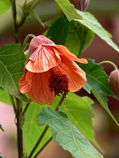 abutilon-dwarfred01.jpg