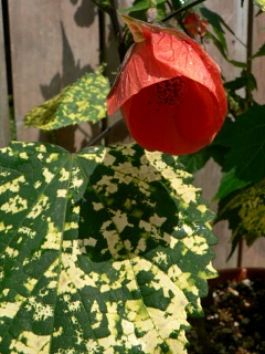 abutilon-cannington-sallyl01