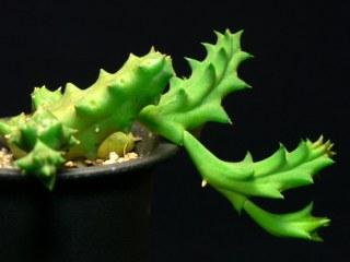asc-tridentea-peculiaris01