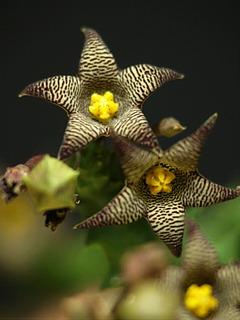 asc-tridentea-peculiaris04