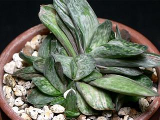 gas-brachyphylla02