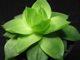 haw-planifolia01