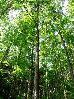 metasequoia01