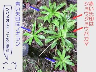 shoujoubakama-nogiran01