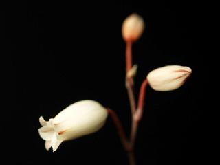 Aloecalcairophila01
