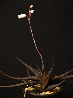 Aloecalcairophila02