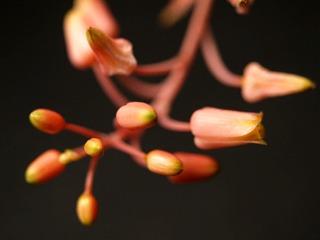 Aloedescoingsii01