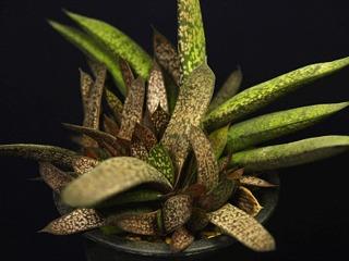 Gasbrachyphylla03