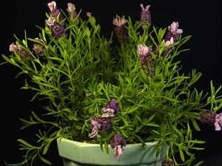 Lavenderkewred02