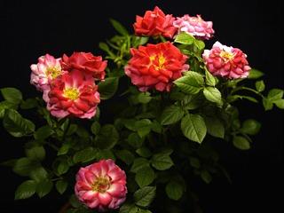 Roseredfiguria01